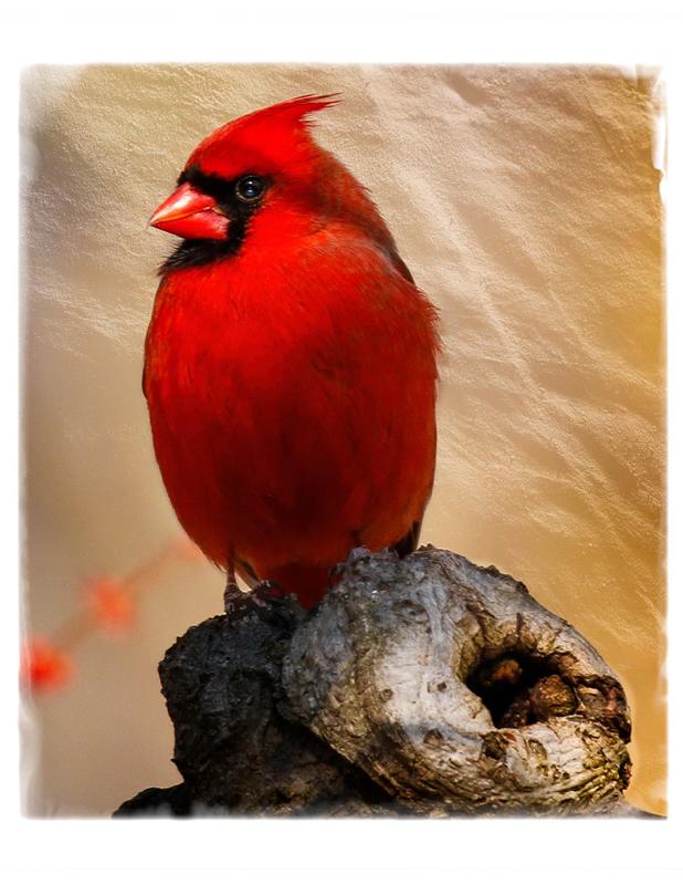 Xuereb-R_Cardinal